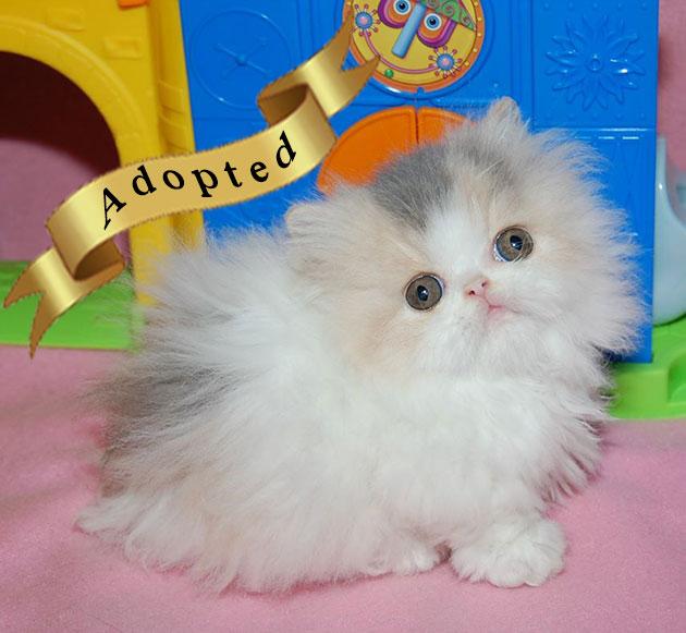 Napoleon Kittens for Sale, Persian, Napoleon kittens