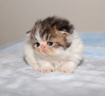 Napoleon Kittens for Sale, Persian, Napoleon kittens available, cattery