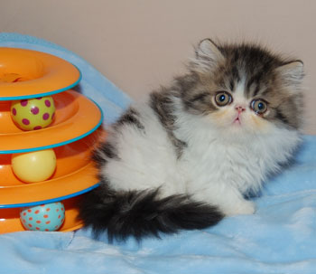 Available Napoleon / Persian Kittens at Little Frenchmen