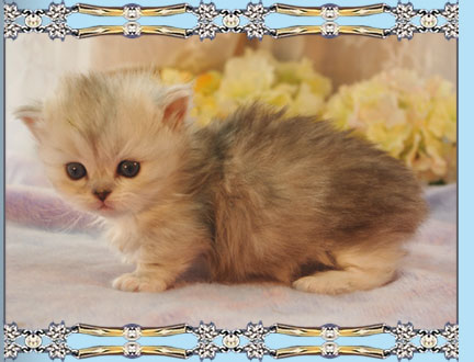 Picture of Napoleon Kittens for Sale at Little Frenchmen Napoleons Kitten Twiggy